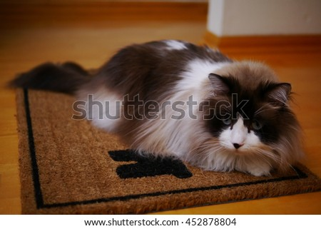 Large Long Haired Bi Color Brown White Ragdoll Cat with Blue Eyes and Black Button Nose Laying on Door Mat  - stock photo