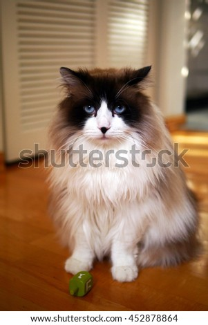 Large Long Haired Bi Color Brown White Ragdoll Cat with Blue Eyes Sitting with Green Cat Toy on Wooden Floor Looking at Camera - stock photo