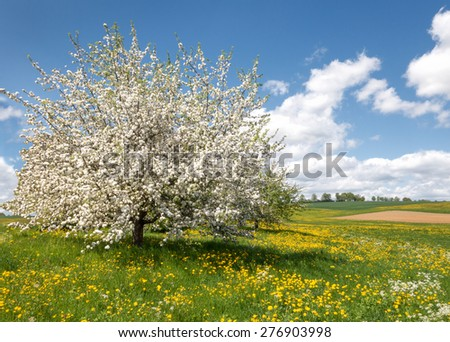 Large, lush blooming apple tree in a spring meadow with numerous yellow dandelions against blue and white sky  - stock photo