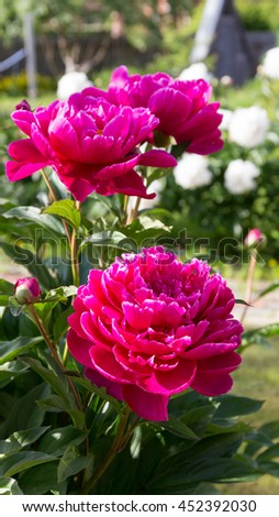 large lush fragrant flowers of bright purple ornamental peonies in the garden on a summer morning on the green background - stock photo