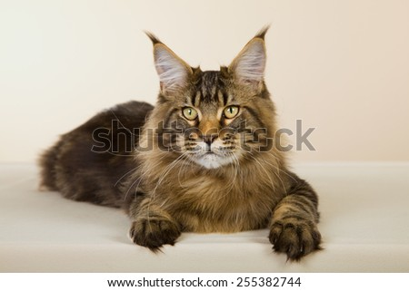 Large Maine Coon cat lying down on beige background  - stock photo