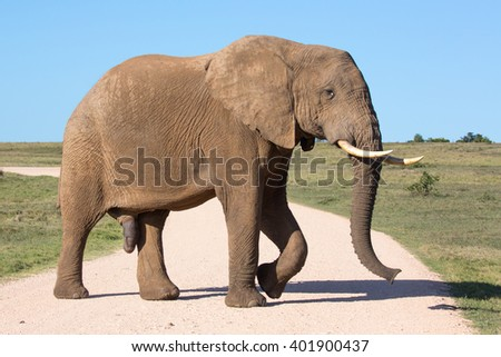 Large male African elephant crossing a gravel road