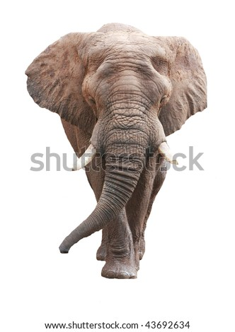 large male african elephant over white - stock photo