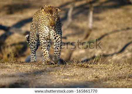 Large male african leppard alking through short grass - stock photo