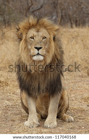 Large Male African Lion - stock photo