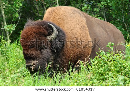 Large male American plains bison - stock photo