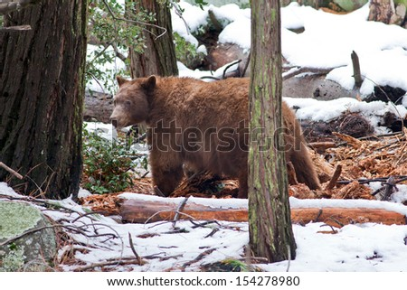 Large male black bear (Ursus americanus), Yosemite National Park, California. - stock photo