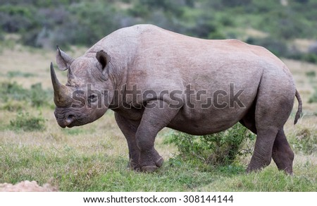 Large male black rhino peering out from between the bushes - stock photo