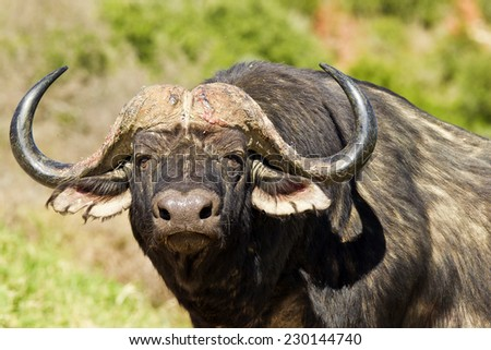 large male buffalo lifts its head and stares into the distance - stock photo