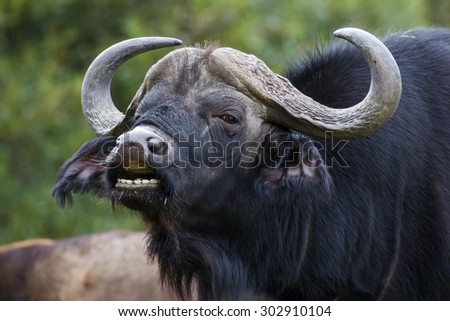 Large male Cape buffalo showing the flehmen response after smelling a nearby female - stock photo