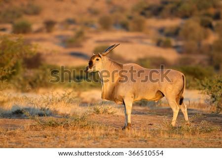 Large male eland antelope (Tragelaphus oryx) in natural habitat, South Africa - stock photo