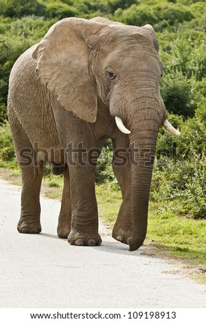 large male elephant walking on a tar road in a reserve