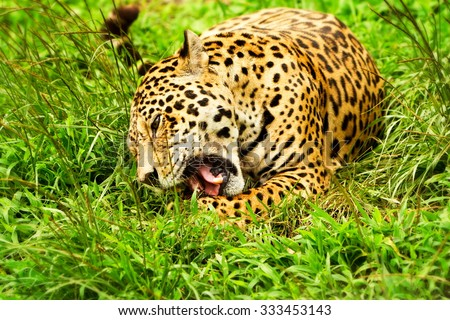 Large Male Jaguar In The Wild Shoot In The Ecuadorian Tropical Forest From Close Range