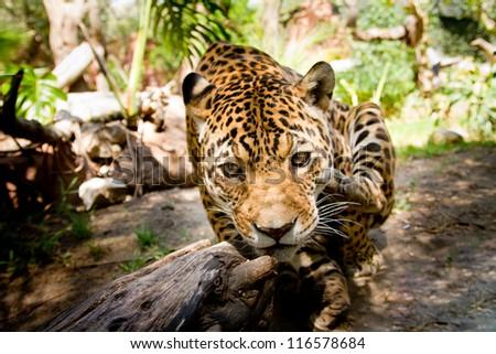 Large male jaguar jumping towards camera - stock photo