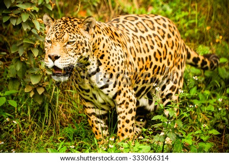 Large Male Jaguar Shoot In The Wild Ecuadorian Amazonia - stock photo