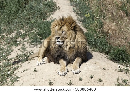 Large male lion looks out over the savanna - stock photo