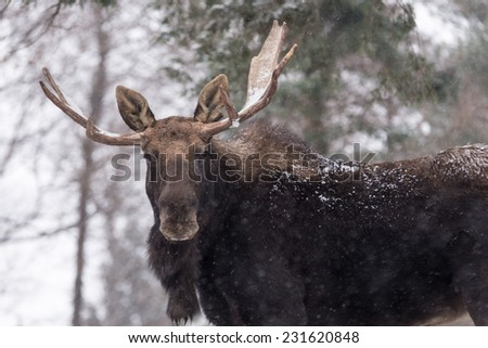 Large male moose with large antlers