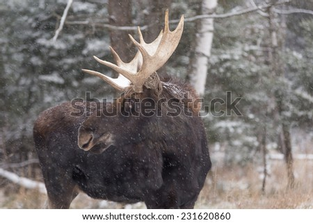 Large male moose with large antlers - stock photo