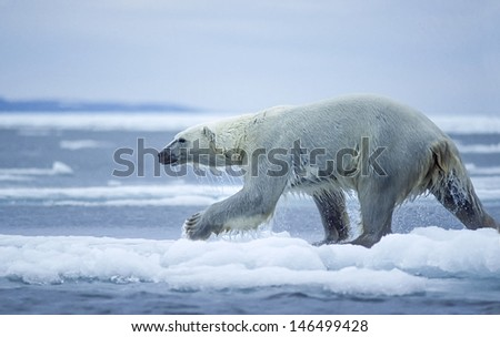 Large male polar bear running on ice floe in Canadian Arctic - stock photo