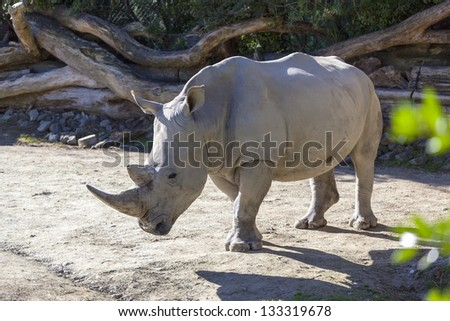Large Male Rhinoceros