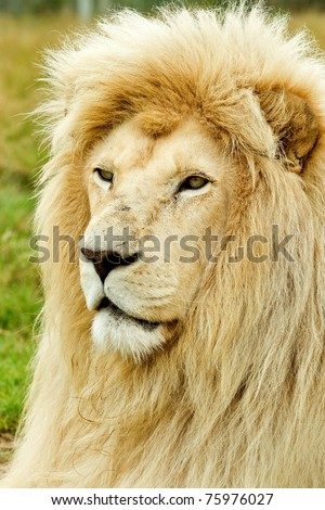 Large male white lion profile watching something to its left