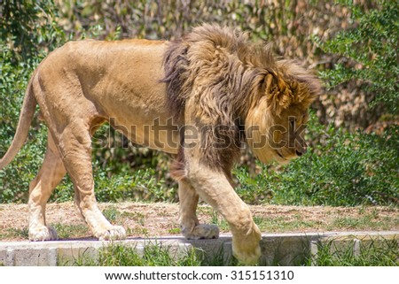 Large mane Lion, wander in search of a dam