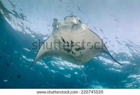 Large Manta Ray feeding near the ocean surface