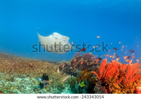 Large Manta Ray swimming over a tropical coral reef - stock photo