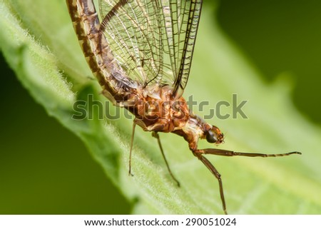 Large Mayfly on a Green Leaf - stock photo