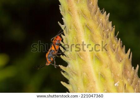 Large Milkweed Bug, Oncopeltus fasciatus, on milkweed pod - stock photo
