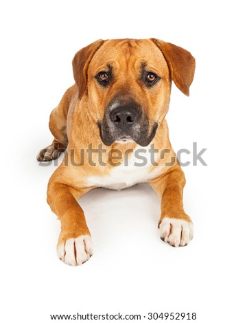 Large Mixed Breed Dog laying on a white background. Dog is looking directly into the camera. - stock photo