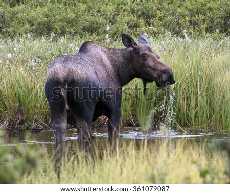 Large moose eating in a creek