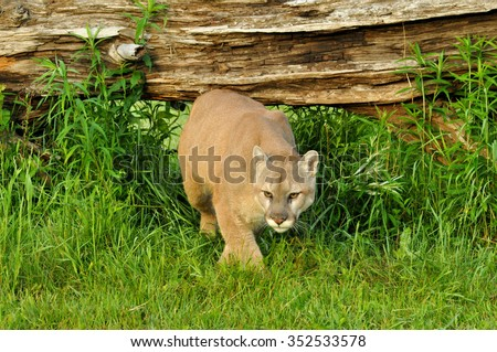 Large Mountain Lion crosses under a fallen log. - stock photo