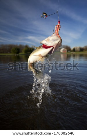 Large mouth bass jumping and thrashing out of the water trying to throw the hook out of it's mouth. - stock photo