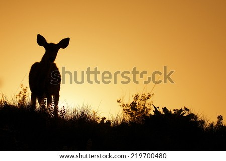 Large Mule Deer Buck stag on ridge top sunrise / sunset silhouette photo with space for text / copy wildlife viewing in the Rocky Mountains - stock photo