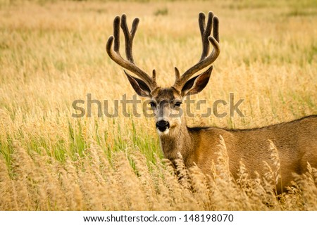 Large mule deer buck standing in tall grass with antlers in full summer velvet - stock photo