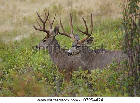 Large Mule Deer Bucks in habitat - stock photo