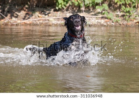 Large munsterlander dog running on water - stock photo