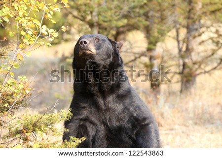 Large North American Black Bear in Wyoming