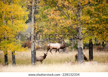 Large North American bull elk with aspen trees during the rut in Rocky Mountain National Park, Colorado - stock photo