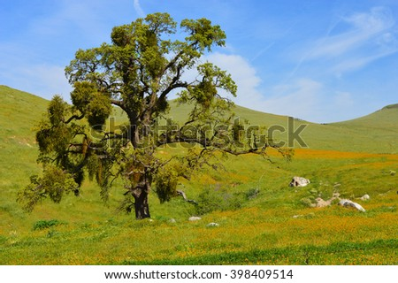Large oak tree in a meadow of orange wildflowers. - stock photo