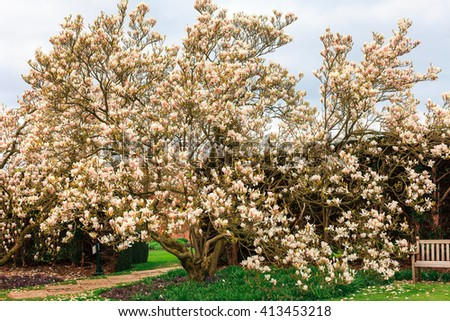Large old pink magnolia tree in a springtime garden. - stock photo