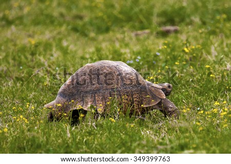 Large Old tortoise walking on green grass.