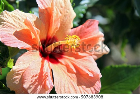 Large orange Hibiscus flower in Queensland, Australia