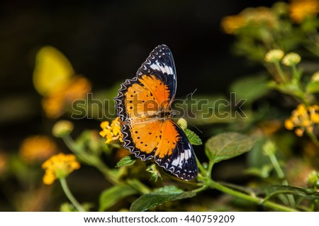 stock-photo-large-orange-lacewing-butter