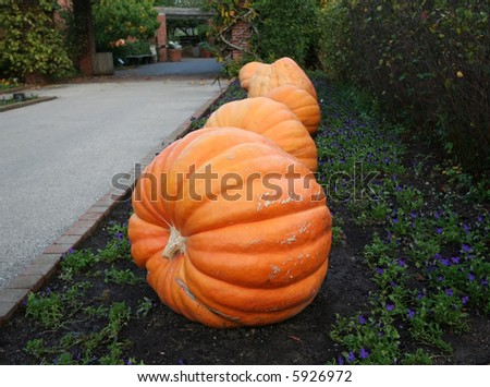 Large orange pumpkins - stock photo