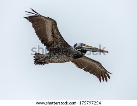 Large pelican looking for food in the fish port in Valparaiso - Chile - stock photo
