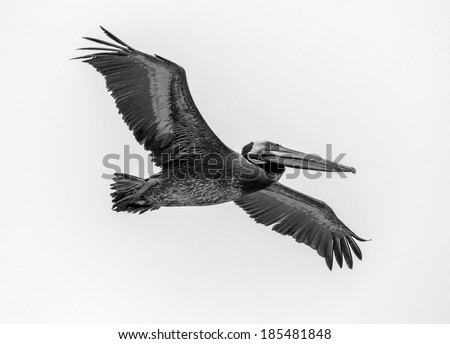 Large pelican looking for food in the fish port in Valparaiso - Chile (black and white) - stock photo