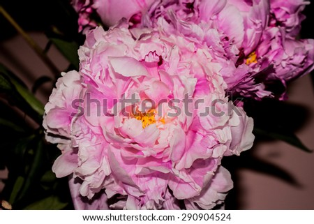 Large Peony Flower, pink petals.