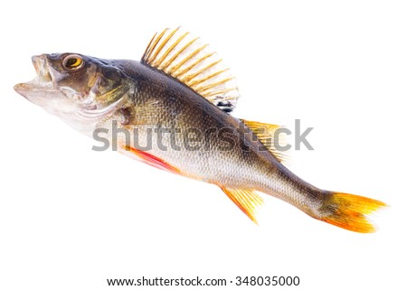 large perch isolated on white background - stock photo